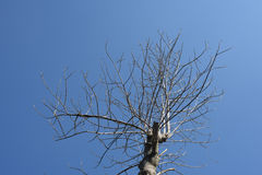 Dead tree with blue sky Stock Photography