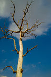 Dead tree in the blue sky white clouds. Scenic view of lone dead tree in blue sky and cloudscape Stock Photo