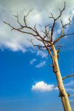 Dead tree in the blue sky white clouds. Scenic view of lone dead tree in blue sky and cloudscape Royalty Free Stock Image