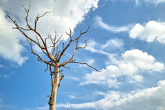 Dead tree in the blue sky white clouds. Scenic view of lone dead tree in blue sky and cloudscape Royalty Free Stock Photo