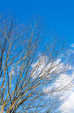 Dead tree and blue sky of winter Royalty Free Stock Images