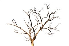 Dead tree branch isolated Royalty Free Stock Image