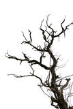 Dead tree branches isolated. Royalty Free Stock Image