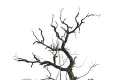 Dead tree branches isolated. Royalty Free Stock Photo