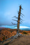 Dead Tree Bryce Canyon Royalty Free Stock Images