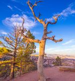 Dead tree Bryce Canyon stock image