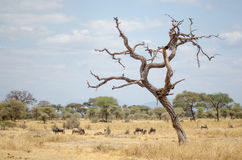 Dead tree and buffaloes. (Gnus) in the savana in Tanzania Royalty Free Stock Photos