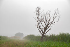 Dead tree bush outback scene. In fog Royalty Free Stock Photography