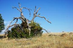 Dead Tree in a Bush Stock Photo