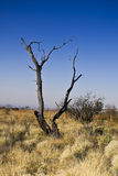 Dead Tree in Bushveld. The remains of a tree that is likely the results of a lightning strike Stock Image