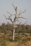 Dead tree in the bushveld. A dead tree standing in a typical bushveld setting of grassland and thorn trees Stock Photo