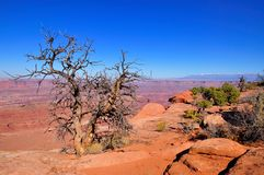 Dead tree with Canyonlands in background. Seen from Dead Horse Point, near Moab, Utah Stock Photos