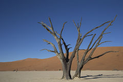 Dead tree on clay pan in the desert Stock Image