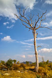 Dead tree in countryside. Scenic view of lone dead tree in countryside under blue sky and cloudscape Royalty Free Stock Photo