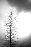Dead tree with a crow. In black and white stock image