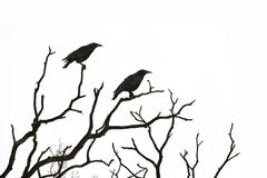 Dead tree with crows isolated on white Royalty Free Stock Photography
