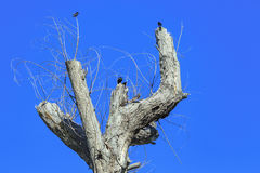 Dead tree with crows Stock Images