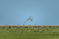 Dead tree, and dead branches, with deer in the background at Oostvaardersplassen nature reserve. Oostvaardersplassen is a controversial nature reserve, due to royalty free stock images