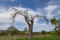 Dead tree. On a sunny day with blue sky royalty free stock photography