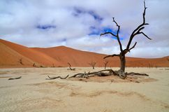 Dead tree in Deadvlei, Namibia Royalty Free Stock Photo