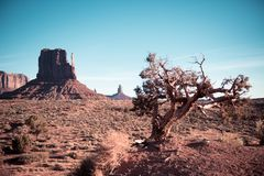 A dead tree in Death Valley. A dead tree is the focus of this picture of the Sedona Monument Valley in Death Valley Arizona. The sky is blue and clear and the stock images