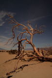 Dead tree in death valley sand dunes. Dead tree in Mesquite dunes Death Valley National Park Royalty Free Stock Photography