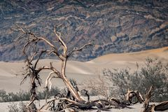 Dead tree in Death valley sand dunes, USA Stock Photos