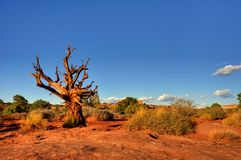 Dead tree on desert. A dead tree stands still in the red desert in canyonlands national park Stock Photo