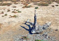 Dead tree in desert Stock Image