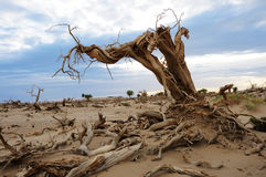 Dead tree in desert Stock Photos
