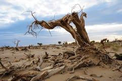 Dead tree in desert. The dead diversifolious poplar tree in desert Stock Photos