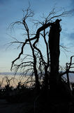 Dead tree in desert Royalty Free Stock Photography