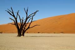 Dead tree in desert. Dead tree in Deadvlei in the Namibian desert in Africa Royalty Free Stock Photo