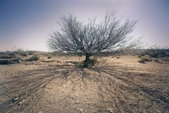 Dead Tree in Desert Royalty Free Stock Photo