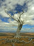 Dead tree in desert. A view of the remains of a old, dead tree in a desert area in rural Australia Royalty Free Stock Images