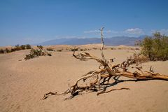 Dead tree on desert sand dunes in Death Valley, USA. A large branch from a dead tree sits on the hot sand of a dune in Death Valley, California, USA. There are royalty free stock image