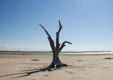 Dead Tree by the Desertification Stock Image