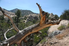 Dead tree at Devils Punch bowl Stock Images