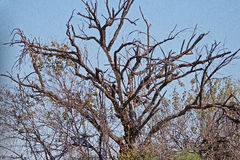 DEAD TREE WITH DRY BRANCHES Royalty Free Stock Photos