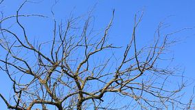 Dead tree. Dry branches of dead tree on blue background stock video