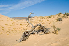 Dead tree in the dunes. Dead tree in white sand dunes with a bright blue sky Stock Image