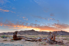 Dead tree at dusk. Dead tree stump trunk at dusk in the Ai-Ais Richtersveld Transfrontier Park in South Africa Royalty Free Stock Image