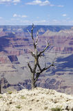 A Dead Tree at the Edge of the Grand Canyon Stock Photo