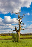 Dead tree in the Essex countryside in Spring Royalty Free Stock Photo