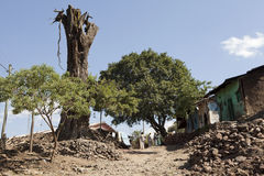 A dead tree, Ethiopia Royalty Free Stock Images