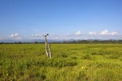 Wasgamuwa national park scenery with dead tree Royalty Free Stock Photos
