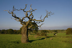 Dead tree in field with interesting branch & cows Stock Photography
