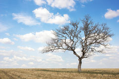 Dead tree at field on summer with blue sky and clouds Royalty Free Stock Photography