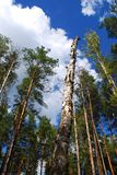 Dead tree in the forest. Dead pine tree standing surrounded by an old   trees in the forest Stock Image