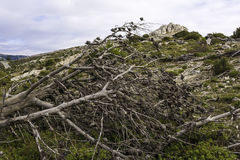 Dead tree after a forest fire, Parnitha Greece. Dead tree after a forest fire at Parnitha national park in Greece stock images